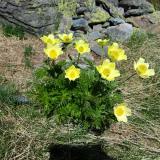 Gul Alpe-anemone