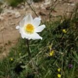 Hvid Alpe-anemone